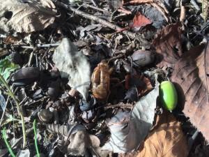 セミの抜け殻とドングリ