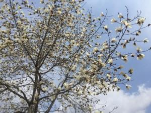 根小屋こぶしの花